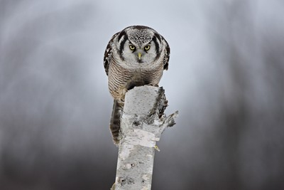 Staredown with a Hawk-owl