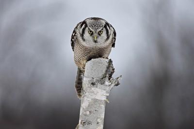 Staredown with a Hawk-owl