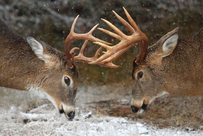 Clash of the Titans - White-tailed deer