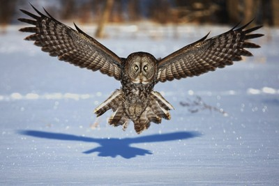 Great Gray Owl - In your face
