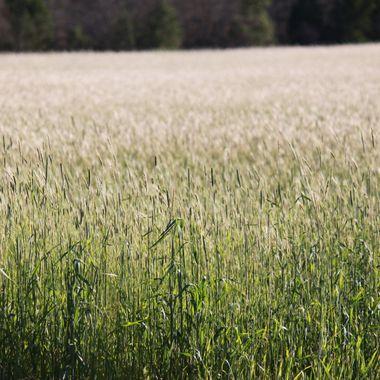 An open field in Aiken, SC