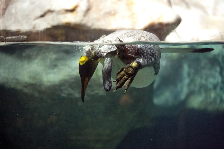 Penguin Fishing IMG_0350
