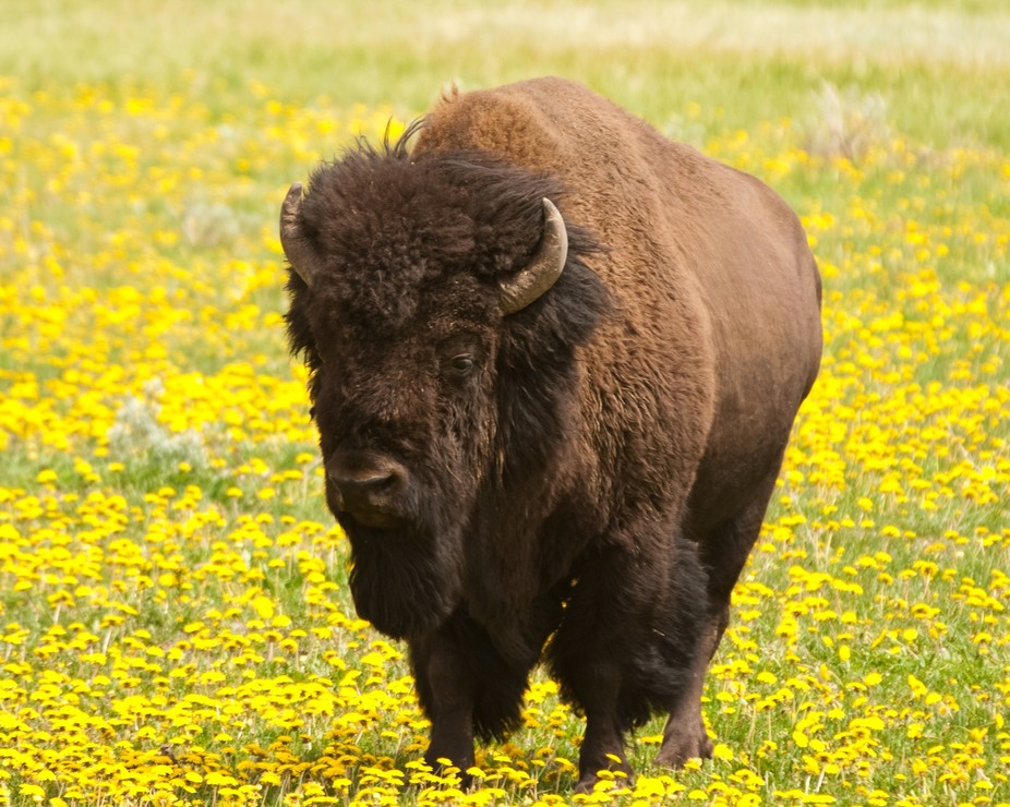 Bison standing in a field of dandelions in Yellowstone Park