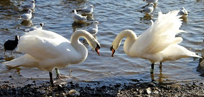 TWO SWANS-2
