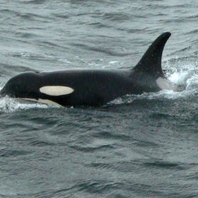 J-pod matriarch in Strait of Juan de Fuca. Wish I could travel as well, at her age!  She's passed away since I took this photo, and the pods...