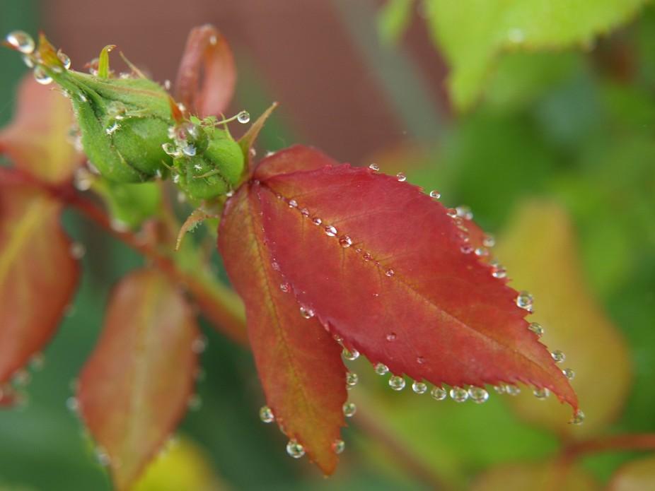 Jeweled Rose Bud - Close