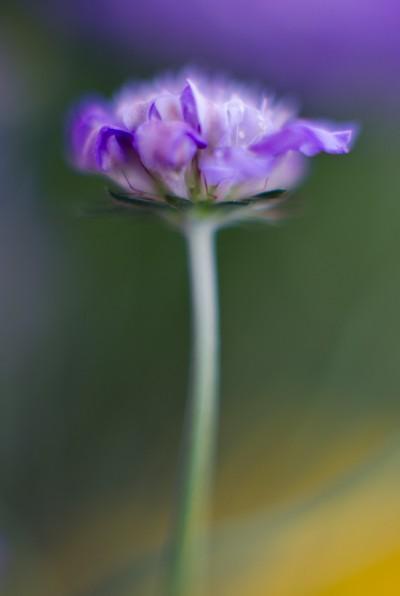 Pincushion Flower Portrait
