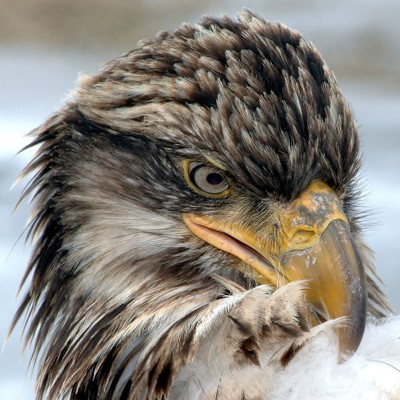 Young Eagle Grooming