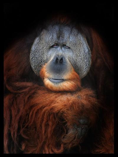 626_M_Sumatran Orangutan