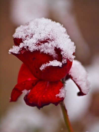 snow rose