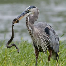 Great Blue Heron catches a snake on Potomac River