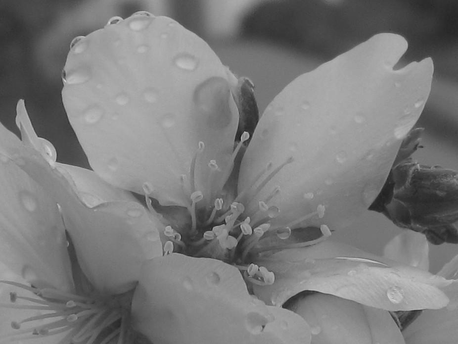 Almond tree blossom in the rain.