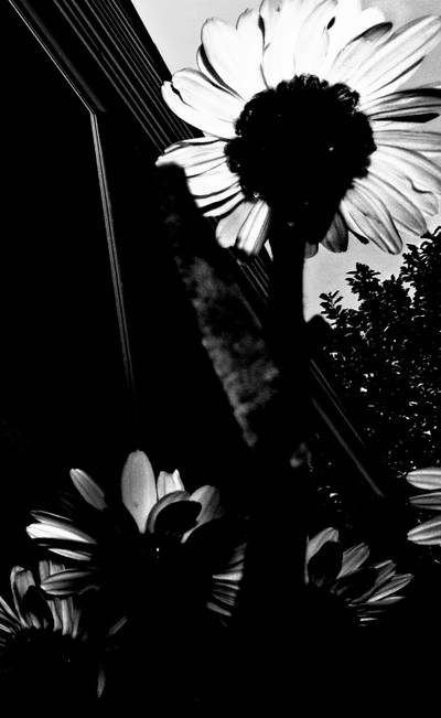 The Darkness of Daisies