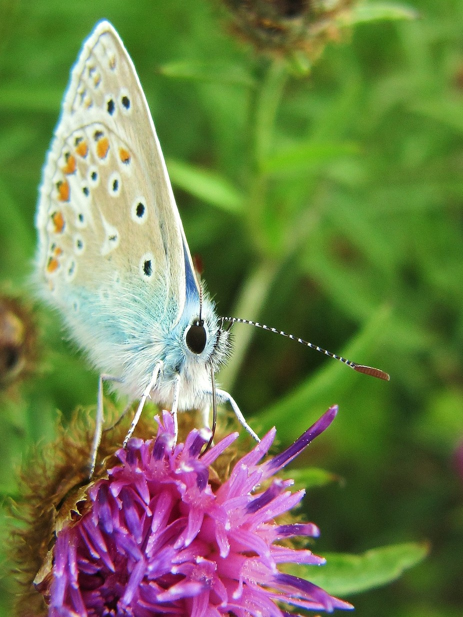 Common Blue Butterfly (2)