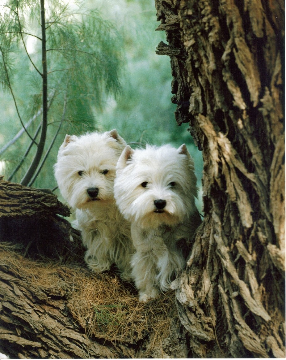 West Highland Terriers.Zest on right,is Mother and Donna on left is her daughter.