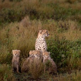Cheetah and her 4 cubs