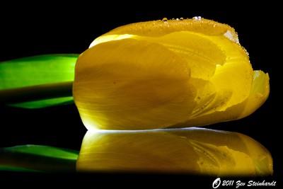 Yellow Tulip on Black