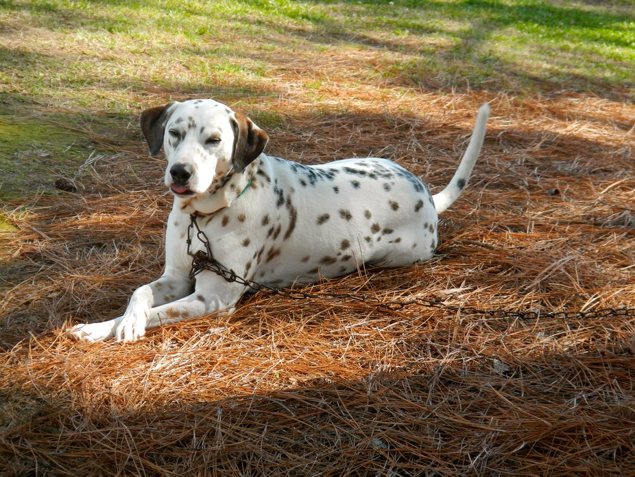 This friendly dalmatian was at the Children\'s Spring Fling on campus.  The children really enjoye...