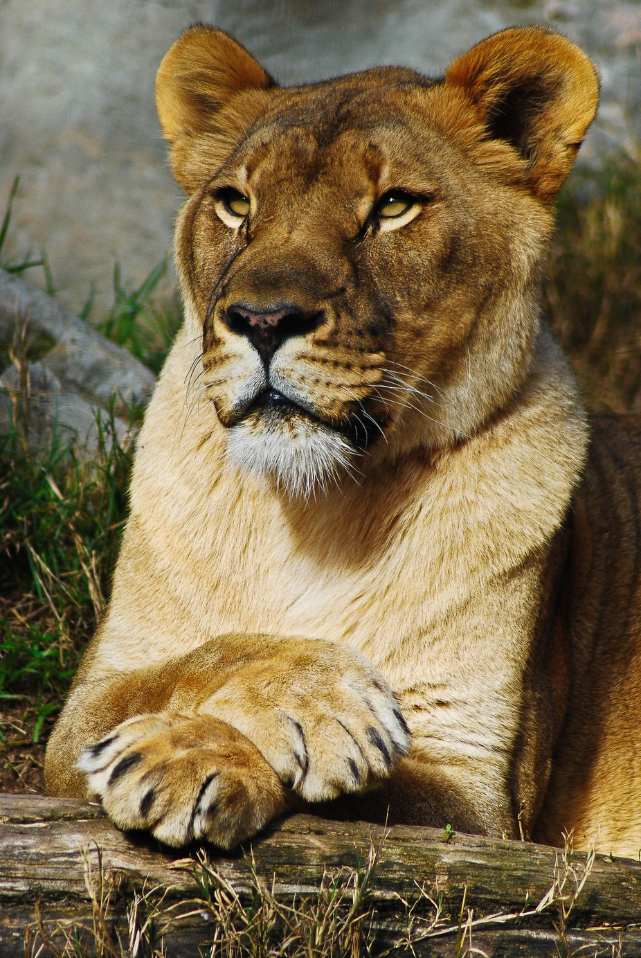 Lioness belongs to Animals
