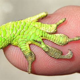 Cuban Knight Anole foot and my finger