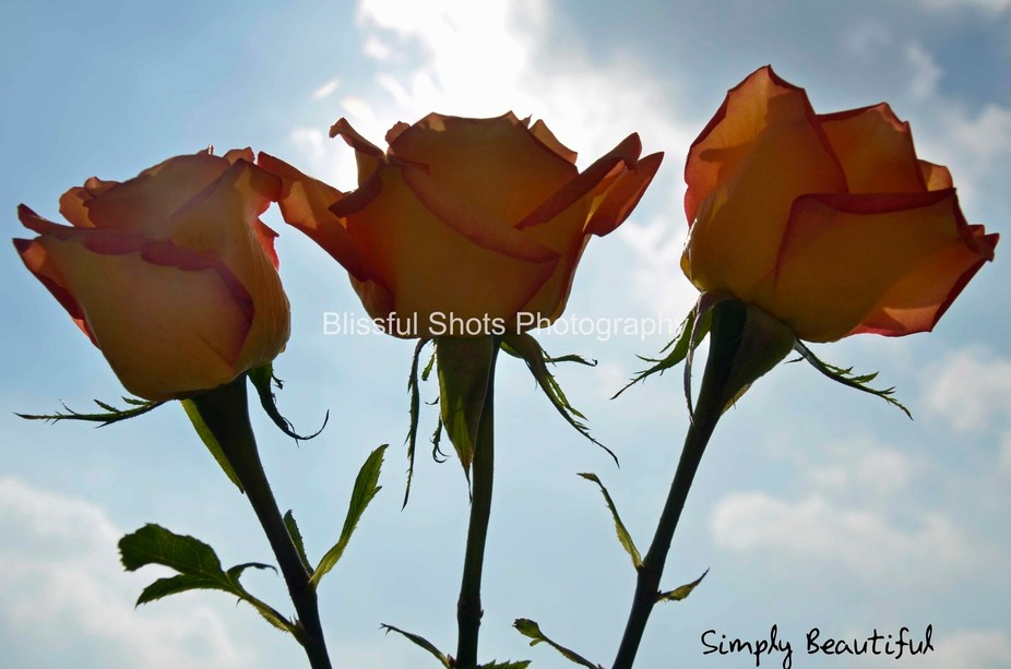 Yellow and Salmon colored roses