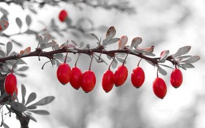 Red Bar Berries