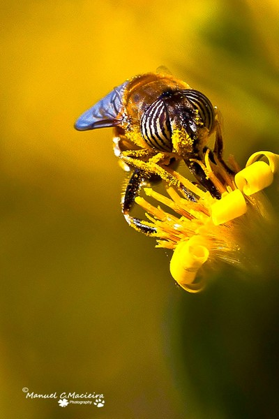 Bee-mimic fly with the striped eyes