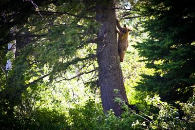 Jackson Hole Bear Cubs