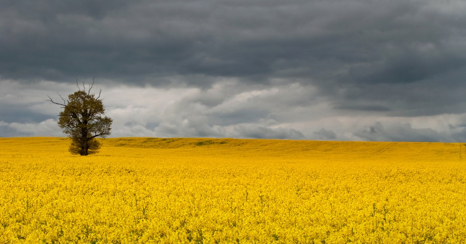 lone tree in a sea of rapeseed flowers
