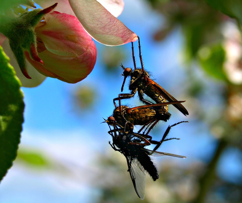 A trio of strange flys hanging off a flower petal, you can see great detail and what they are get...