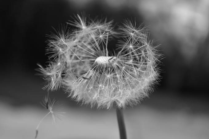 dandelion by throughthekeyholekatie - Black And White Compositions Photo Contest