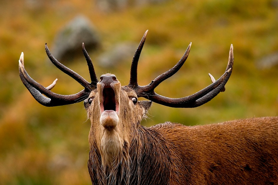 A Red Deer Stag roars to warn off rivals