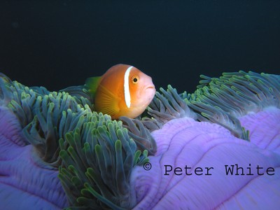 clown fish and purple anemone by mackem diver