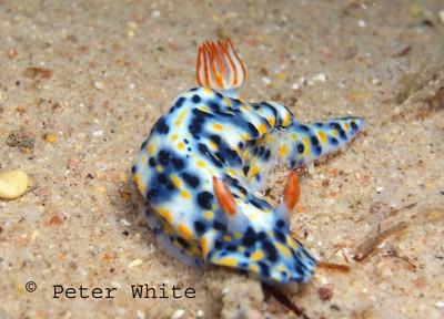 Nuweiba nudibranch by mackem diver