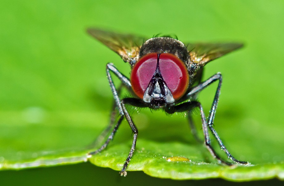 red eye fly02