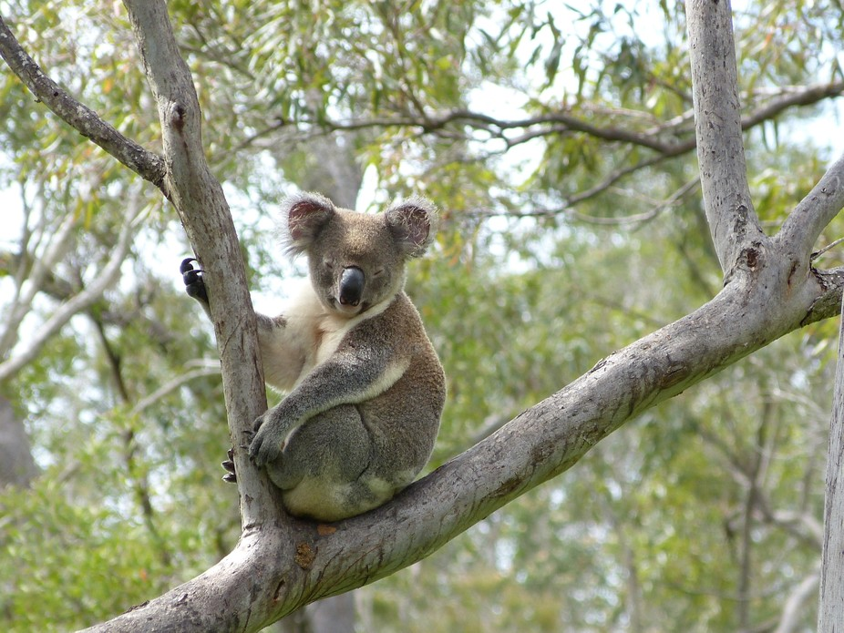 This picture was taken on the East coast of Australia. Features a wild koala bear  in it\'s natura...
