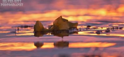 Iris in the sunset