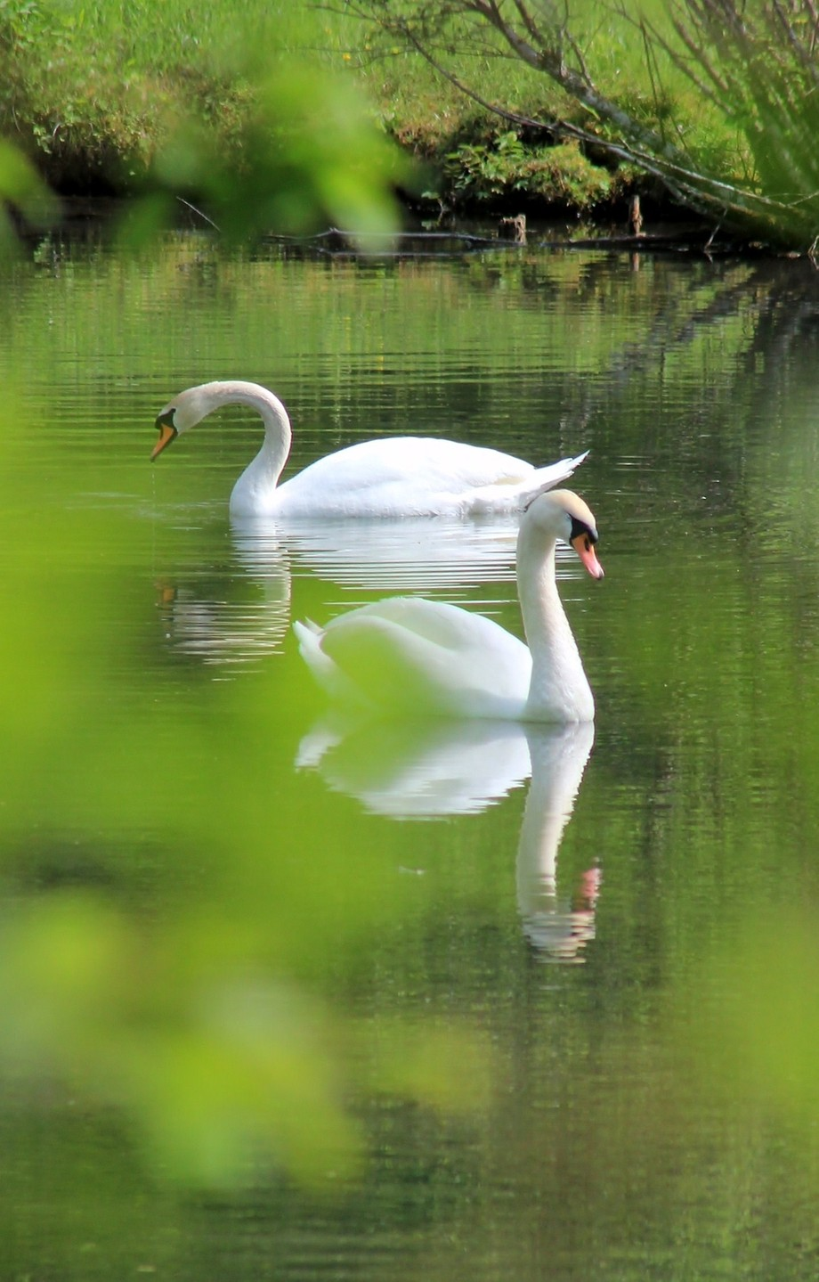 Swan Lake belongs to  Animals