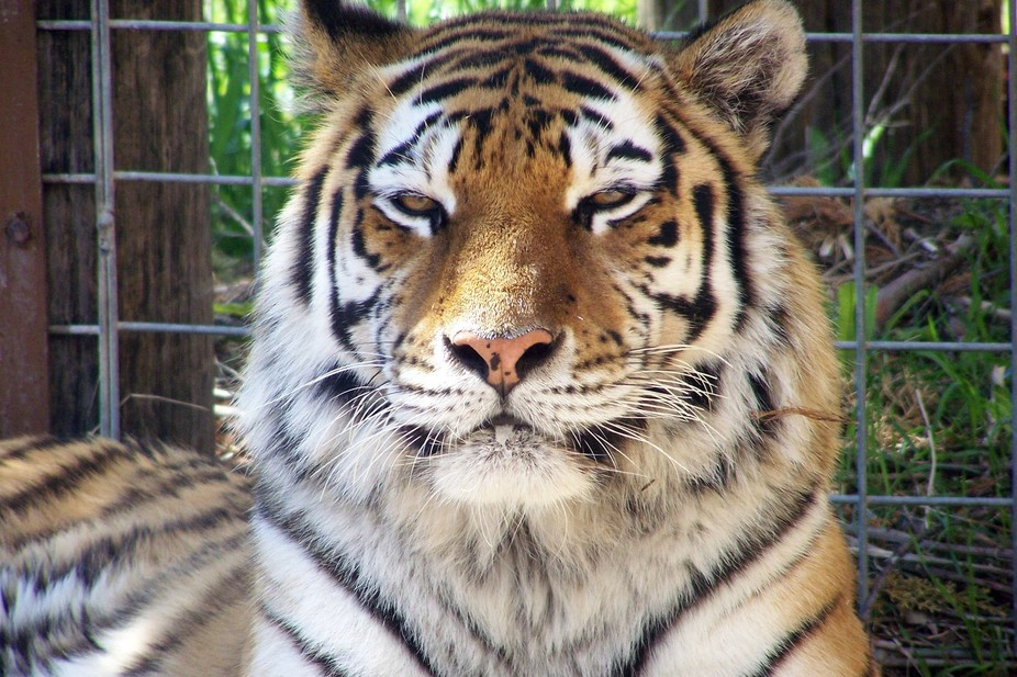 Amur Tiger from Riverside Discovery Center Zoo in Scottsbluff, NE