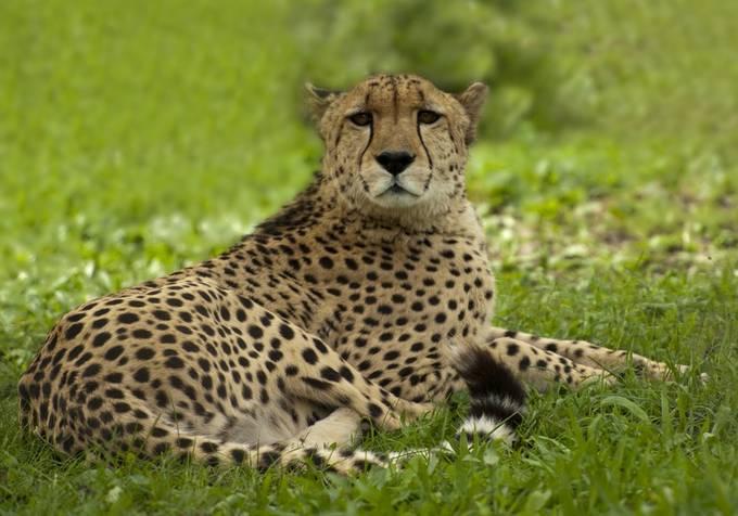P_Cheetah_Leonie Holmes