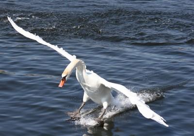 Free as a bird......Skiing Swan