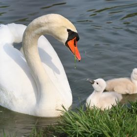 Mute Swan with her babies
