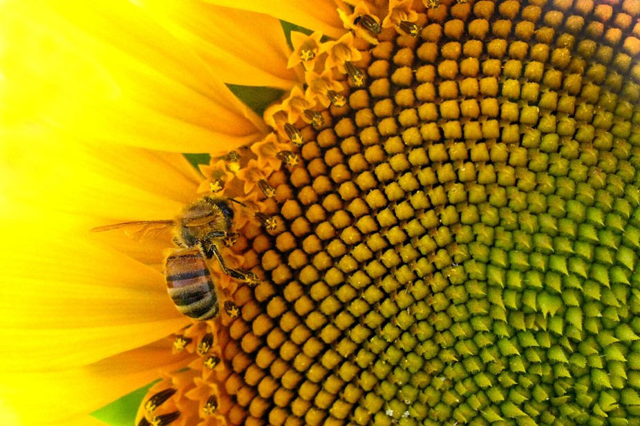 Sunflower And The Bee belongs to Insects