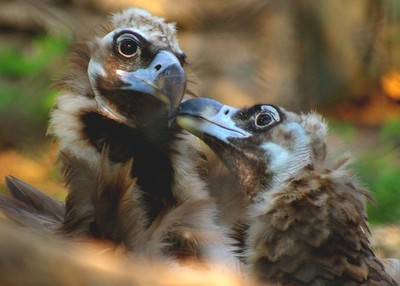 mother vulture with young