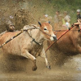 When it's time to prepare the rice fields for planting, it's time to hold a Pacu Jawi, or Cow Race. Cattle compete by racing down a muddy field p...