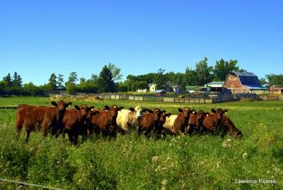 Saskatchewan cows