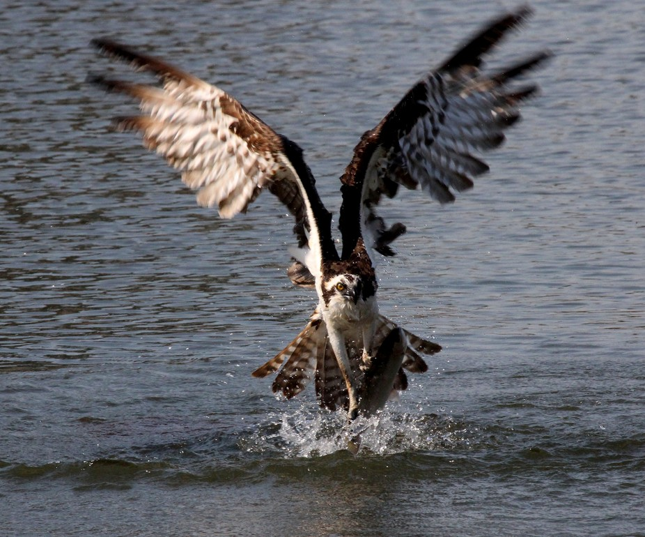 This osprey gets a trout to feed its young