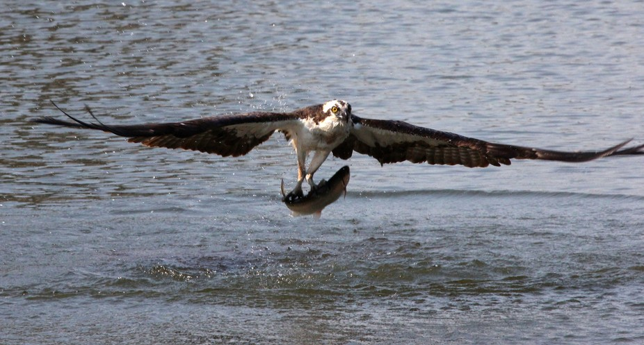 The Osprey carrying this nice trout to the nest