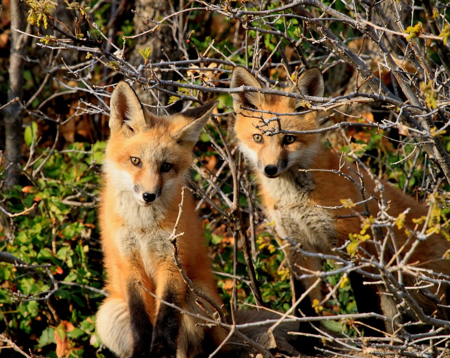 These red fox were just coming out of their den