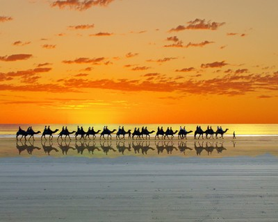 camels on cable beach 1